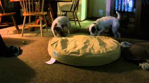Tough Dog Bed Jack Russell Terriers Testing Orvis Tough Chew Dog Bed Youtube