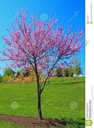 redbud tree stock photo image 53483819