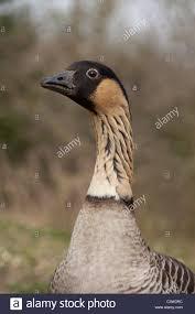gander hawaiian goose or ne ne branta sandvicensis male or