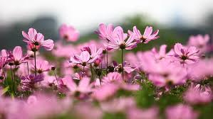 Cosmos Flower Essence - personalized aromatherapy gem elixirs and flower essences one