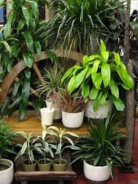 Indoor Tropical Plants For Sale - buy houseplants u0026 tropical plants free shipping over 79 99