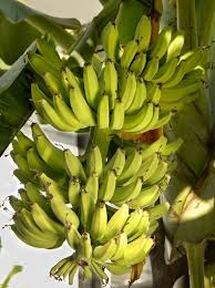 bananas on tree guide to growing bananas on the gulf coast finch al com