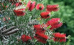 bottlebrush tree 20 seeds callistemon