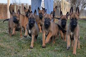 german shepherd x belgian malinois puppies the belgian malinois great guards of the white house