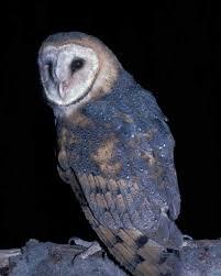 Barn Owl Sounds Barn Owl Audubon Field Guide