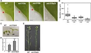 roles of mir319 and tcp transcription factors in leaf development