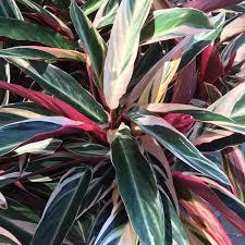 houston native plants buchanan u0027s plants buchanansplants twitter