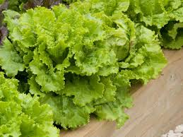 how to grow lettuce indoors how tos diy