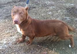 Seeking Pitbull Episode Rami The Pitbull Dachshund Goes Viral As Potential Owners Line Up