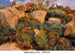 alpine plants growing in rock garden england uk united kingdom gb