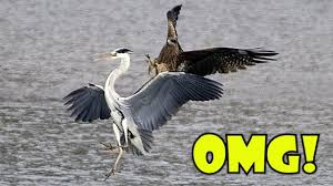 Heron Meaning by Heron Trying To Steal Falcon U0027s Meal Youtube
