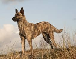 belgian sheepdog vs german shepherd dutch shepherd dog breed information american kennel club