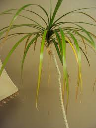 Dracaena Marginata Dracaena Marginata Good To Grow