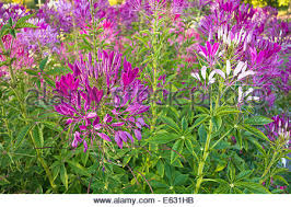 Cleome Flower - white spider flower cleome hassleriana cleome spinosa
