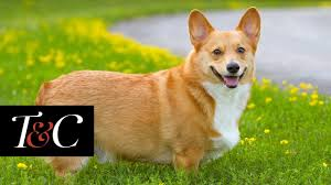 The Queen S Corgi The Queen U0027s 13 Year Old Corgi Holly Has Passed Away Town