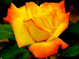 141 best roses beautiful roses images on pinterest flowers