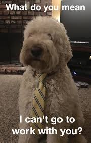 Dog Memes Funny - funny dog meme dog with necktie goldendoodle dogs and puppies