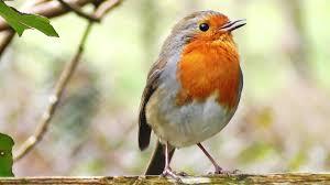 robin birds chirping and singing beautiful bird sounds and bird
