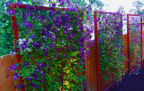 steel trellis adorned with purple clematis vines in modern outdoor