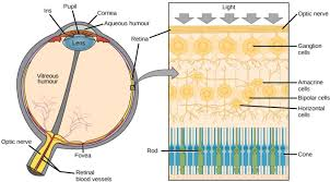 Eye Anatomy And Physiology Vision Boundless Biology