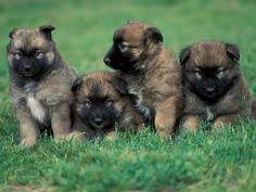 belgian sheepdog puppies price litter of 5 belgian malinois dutch shepherd dog mix puppies for