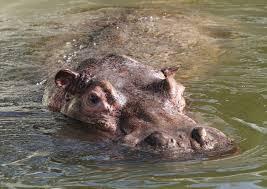 si e social hippopotamus 2011 january hound