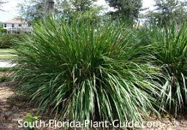 ornamental grass grass pas grass more