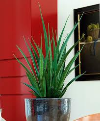 Buy House Plants Sansevieria U0027friends U0027 Planten Pinterest