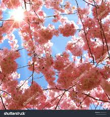 blossom trees sun rays shine through japanese cherry stock photo 141401413