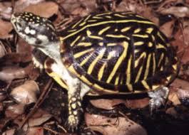 ornate box turtle terrapene ornata ornata box turtles