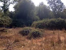 non native invasive plants eliminating invasive blackberry on willits bypass mitigation