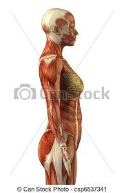 Anatomy Of Women Body Stock Photography Of Anatomy Of Female Muscular System Body