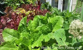 vegetable gardening at home stupid garden plants
