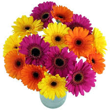 Gerbera Daisies Send Gerbera Daisies Gerbera Flowers Delivery