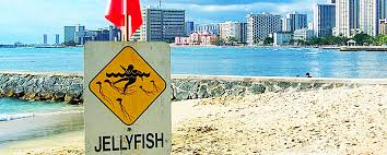 jellyfish sting 2017 hawaii caution dates and treatments
