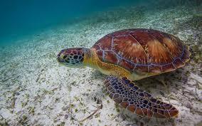marine turtle daylight natural color desktop wallpaper hd