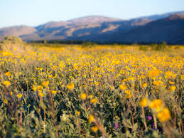 how to find desert wildflower super blooms
