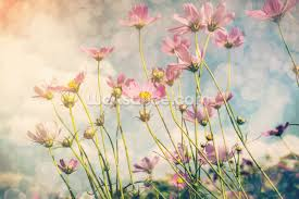 Wall Mural Sunlight In The Cosmos Flower With Vintage Tones Wallpaper Wall Mural Wallsauce