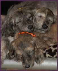 afghan hound group afghan hound