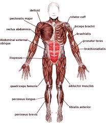 Human Anatomy Upper Body Anatomy Upper Body Muscle Groups Archives Human Anatomy Chart