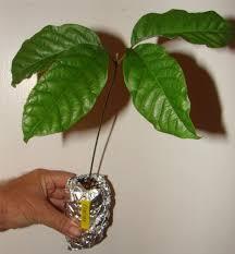 polynesian produce stand 2 rambutan fruit tree nephelium