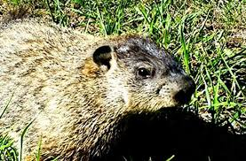 catch groundhog live cage heart trap