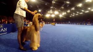 afghan hound judging list the national dog show 2016 hounds preview youtube