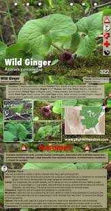 native ginger plant wild ginger edible medicinal cautions u0026 other uses plight to