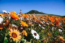 South African Wild Flowers - flower season in cape town cape town tourism
