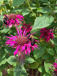 Summer Garden Plants - favorite bee pollinator plants for summer hometalk