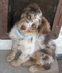 australian shepherd price top 25 best aussie shepherd ideas on pinterest australian