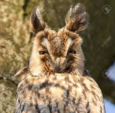 a eared owl in a tree stock photo picture and