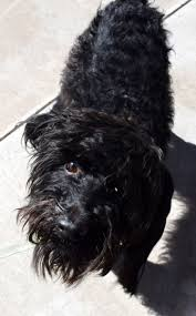 affenpinscher terrier mix davinci u2013 poodle terrier mix u2013 adopted 3 14 15 foreclosed upon pets