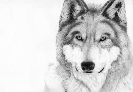 grey wolf by laminated teabag on deviantart
